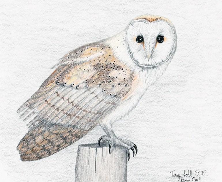 Barn Owl Drawing - Tyto alba