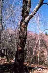 American Chestnut - Wild Survivor
