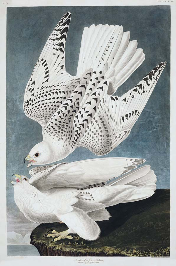 "Audubon's Plate 366 - ""Iceland or Jer-Falcon"""
