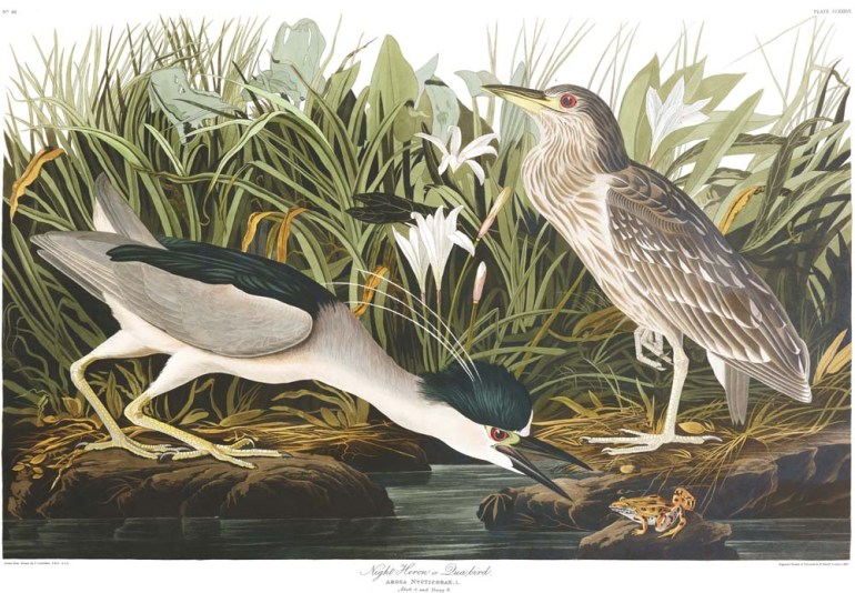 Audubon's Plate 236 - Night Heron