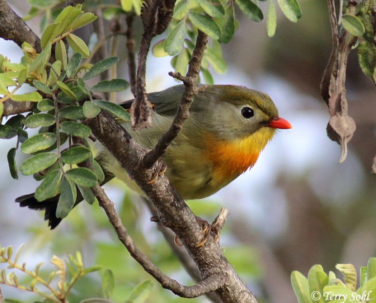 Photo of Red-billed Leiothrix - Leiothrix lutea