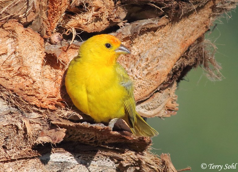 Photo of Saffron Finch - Sicalis flaveola