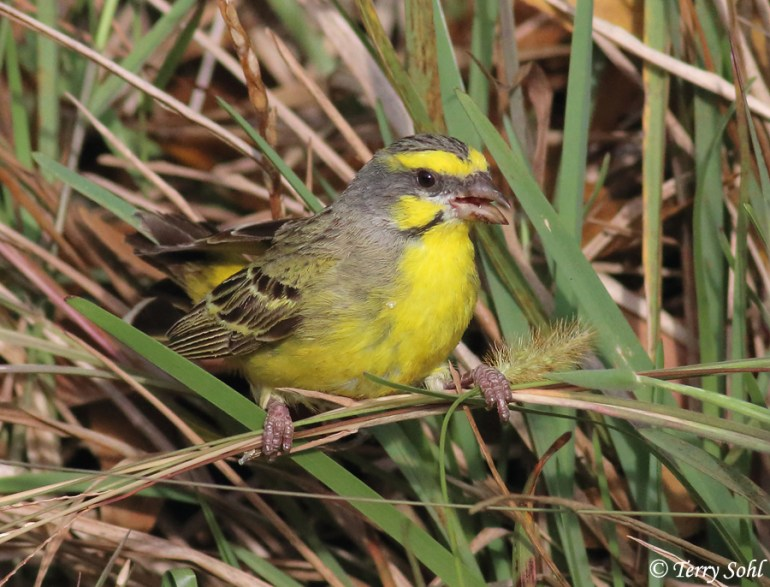 Photo of Yellow-fronted Canary - Serinus mozambicus