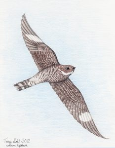 Common Nighthawk Drawing - Chordeiles minor