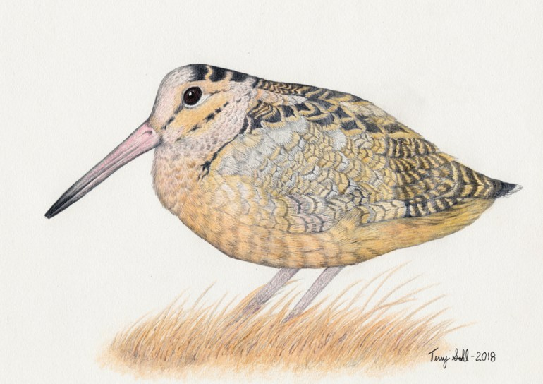 American Woodcock Drawing - Scolopax minor