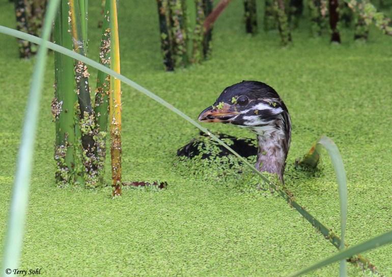 Juvenile Pied-billed Grebe - Podilymbus podiceps