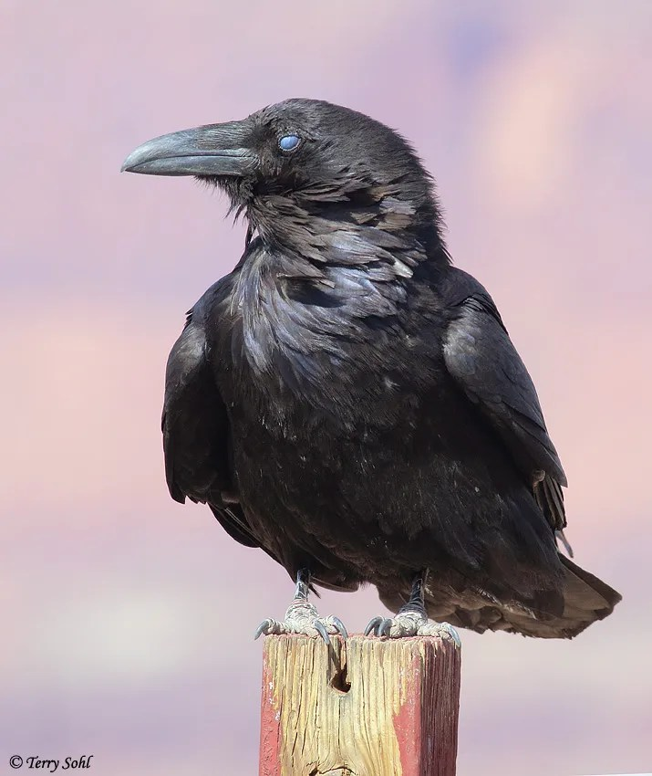 "Common Raven - ""Three-eyed Raven"""