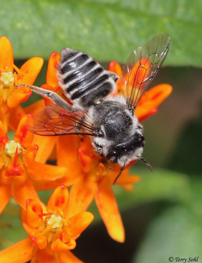 Leafcutter Bee (Megachile)