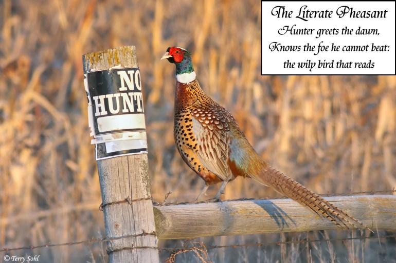 Ring-necked Pheasant - No Hunting