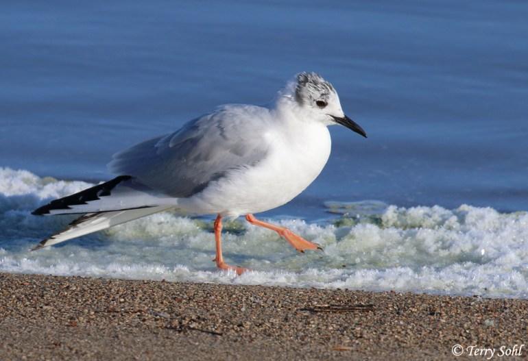 Bonapaarte's Gull - Larus philadelphia