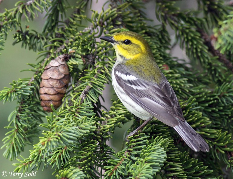 Black-throated Green Warbler - Setophaga virens
