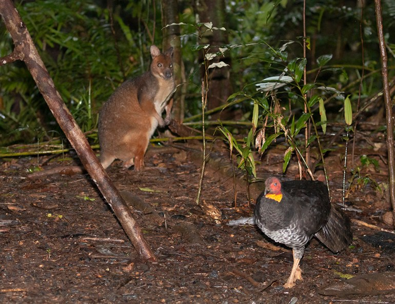 Red-legged Pademelon (Thylogale stigmatica) and Australian Brushturkey (Thylogale stigmatica)
