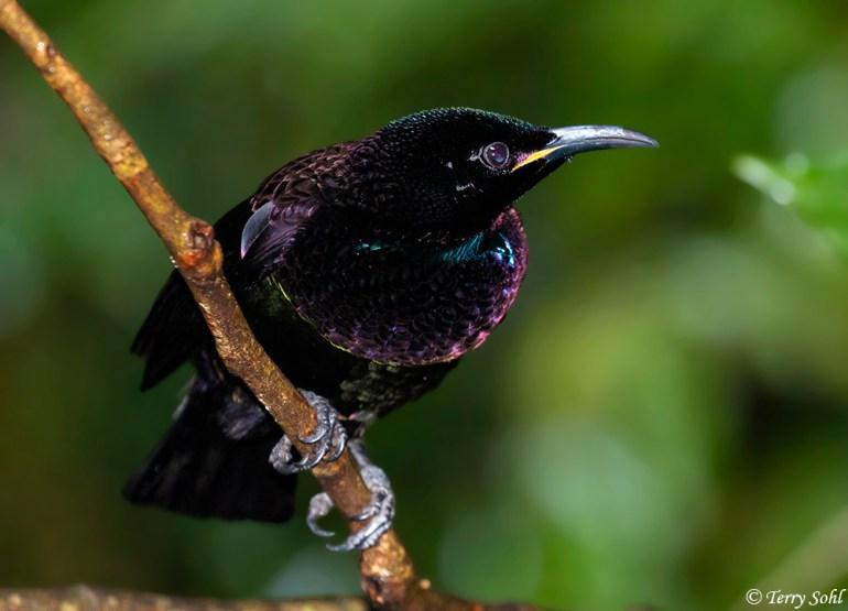 Victoria's Riflebird (male) - Ptiloris victoriae