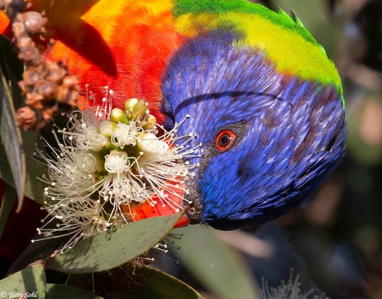 Rainbow Lorikeet - Trichoglossus moluccanus