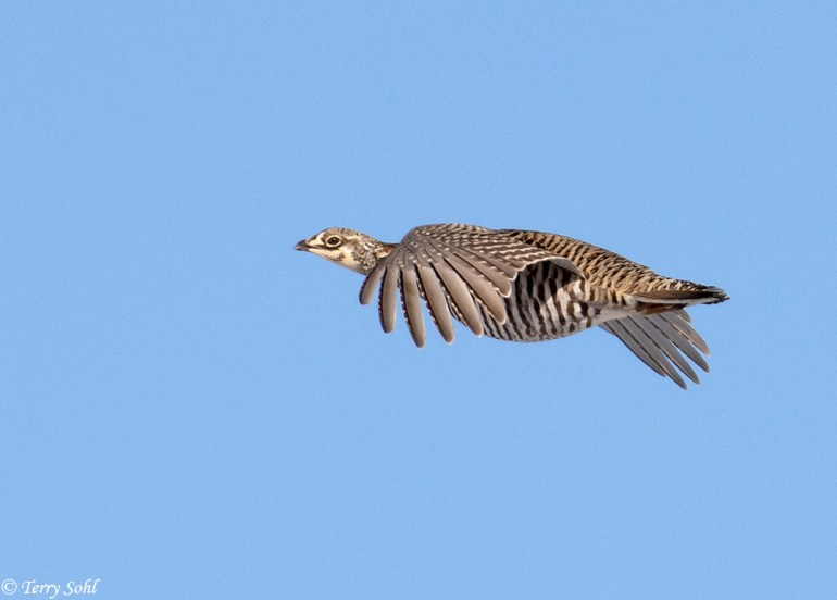 Greater Prairie Chicken in Flight - Tympanuchus cupido
