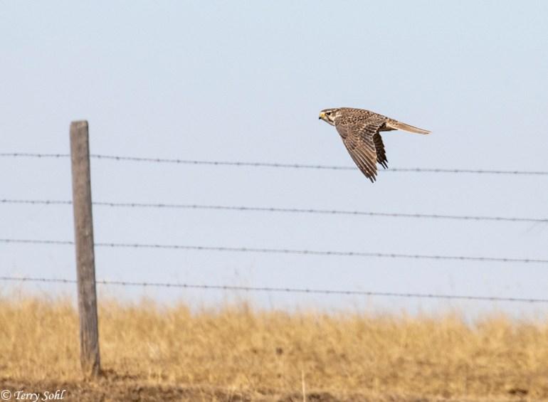 Prairie Falcon - Falco mexicanus