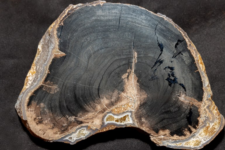 "Polished petrified Wood, ""Blue Forest"" area"