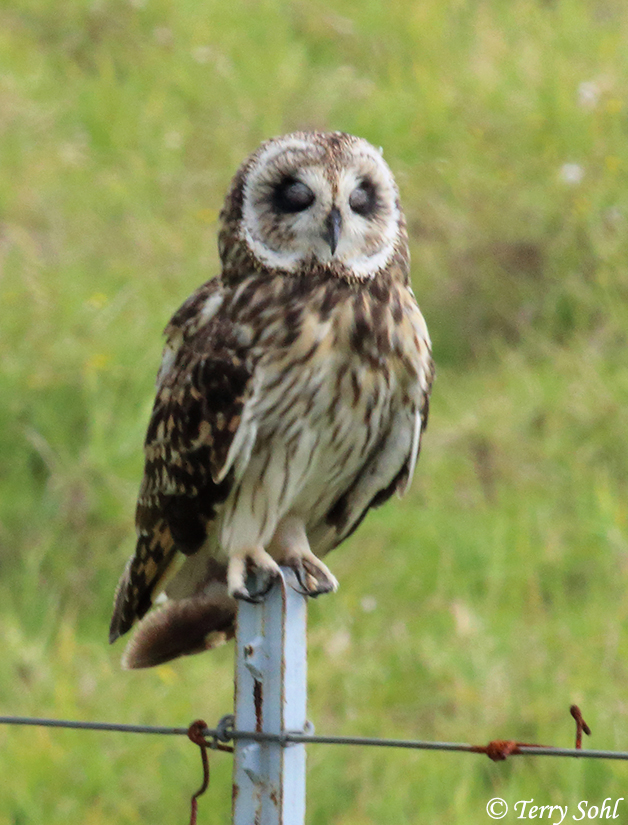 "Short-eared Owl - Asio flammeus - ""Pueo"" - Hawaii (Big Island)"