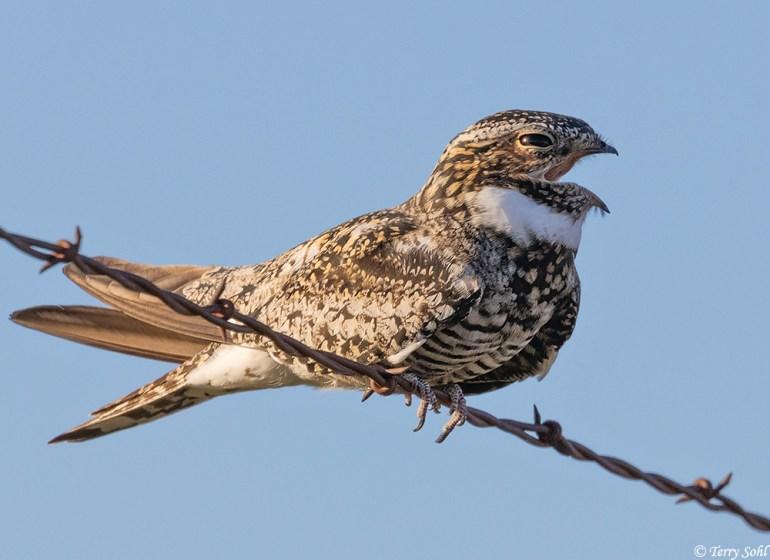 Common Nighthawk calling - Chordeiles minor