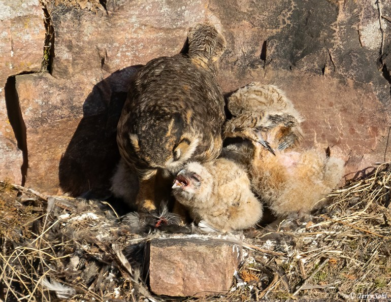 Great Horned Owl nest - Feeding Chicks - Bubo virginianus