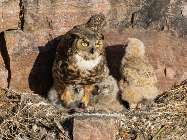 Great Horned Owl (Bubo virginianus) nest with 3 young chicks