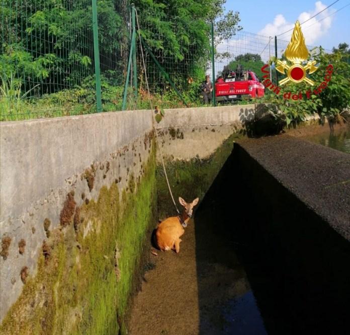 Prato Sesia, capriolo salvato dai vigili del fuoco