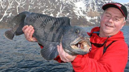 Norwegian wolffish