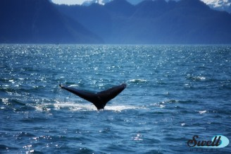 A humpback whale in Resurrection Bay.