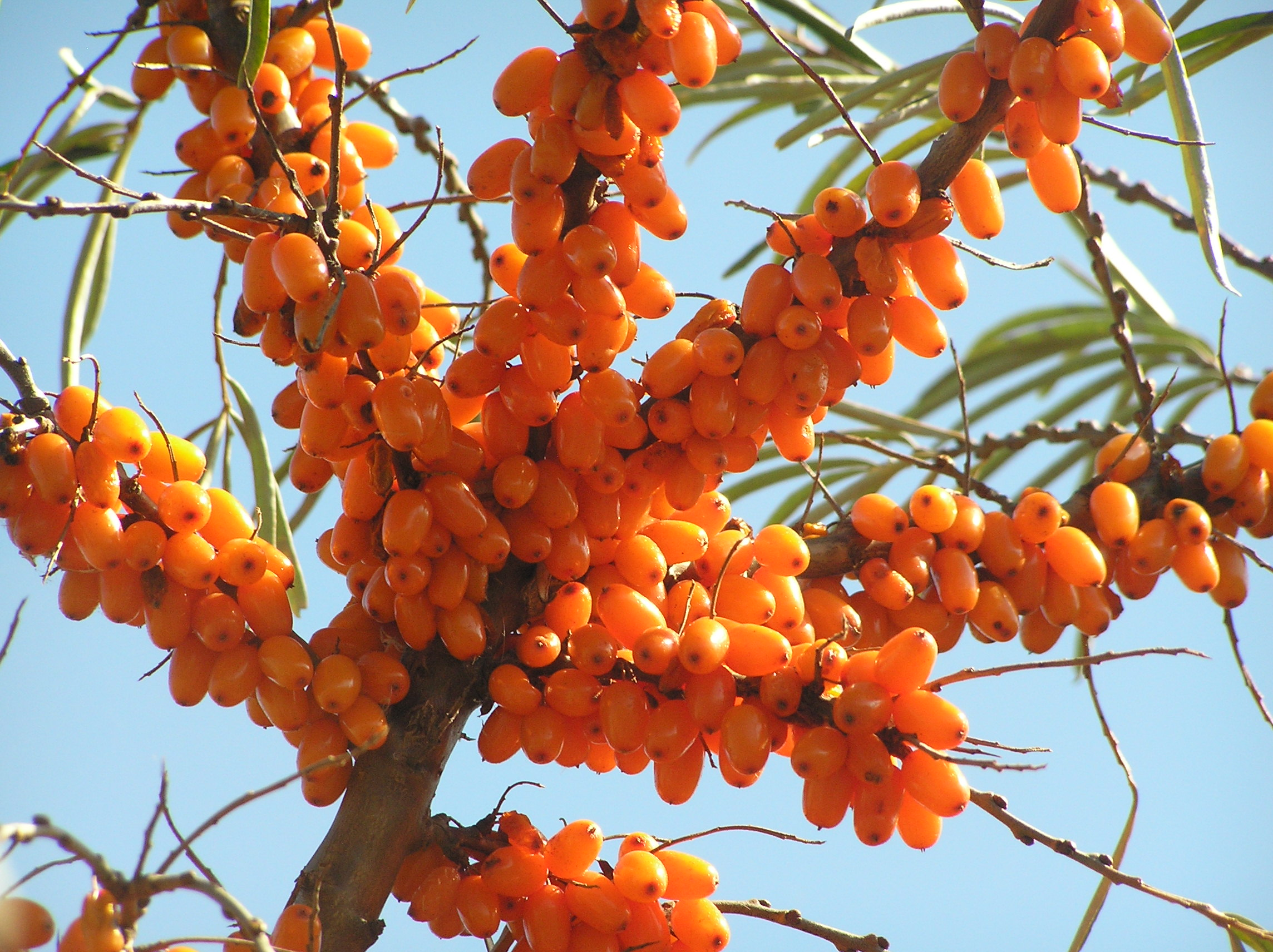 Image result for sea buckthorn plant