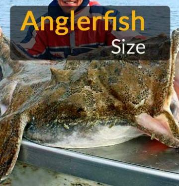 anglerfish-size how big is the deep sea anglerfish how big is angler fish how big can anglerfish get how big can an angler fish get how large is an angler fish how big is a deep sea angler how large are angler fish angler fish how big how big do deep sea anglerfish get how big is an angler fish deep sea how big is a female angler fish how big are anglerfish compared to humans how big is the average deep sea anglerfish how big can a deep sea anglerfish get