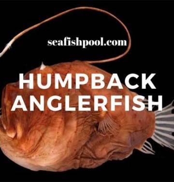 Humpback-Anglerfish