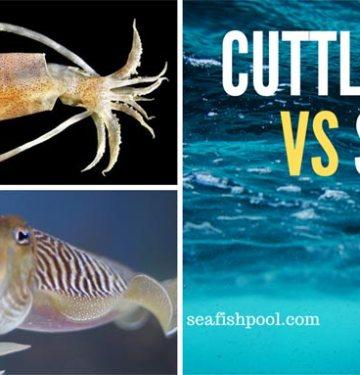 cuttlefish vs squid