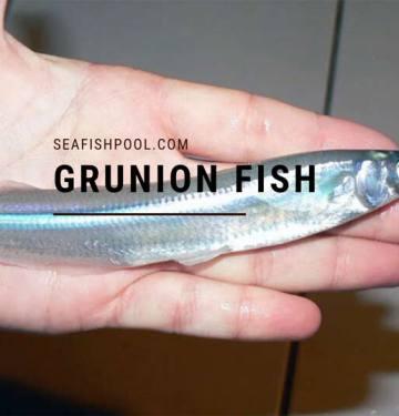 Grunion fish