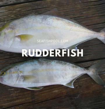 Rudderfish Taste Flavor Recipe