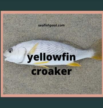 Yellowfin Crocker