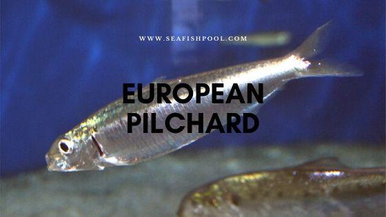 European pilchard