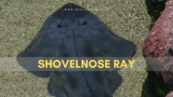 shovelnose ray