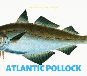 Atlantic Pollock