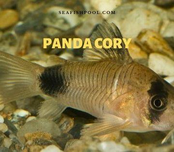 panda cory