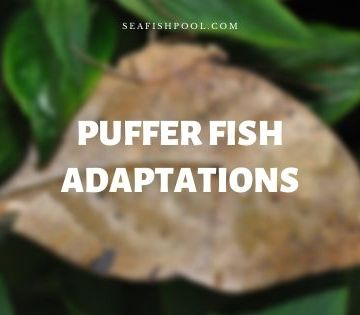 puffer fish adaptations