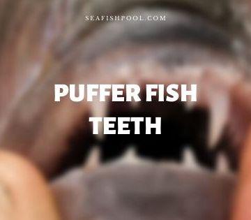 puffer fish teeth