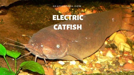 Electric catfish