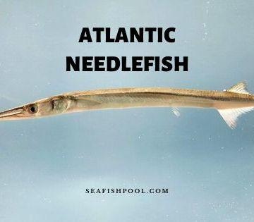 atlantic needlefish