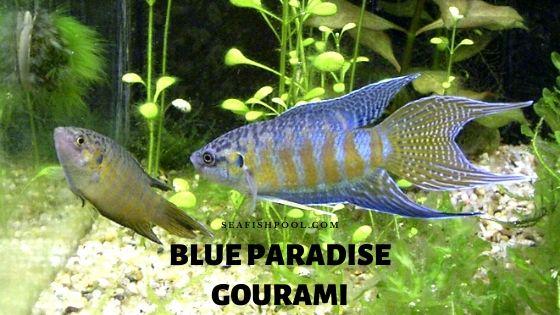 blue paradise gourami