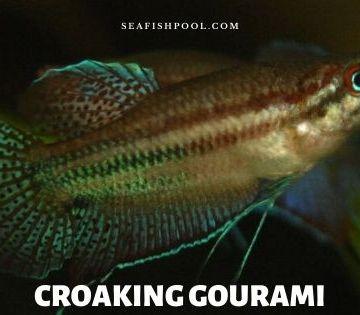 croaking gourami