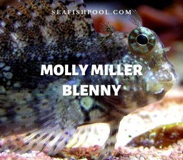 molly miller blenny
