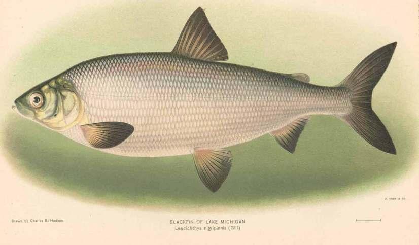 Blackfin cisco