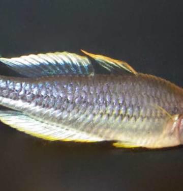 Pygmy-whitefish
