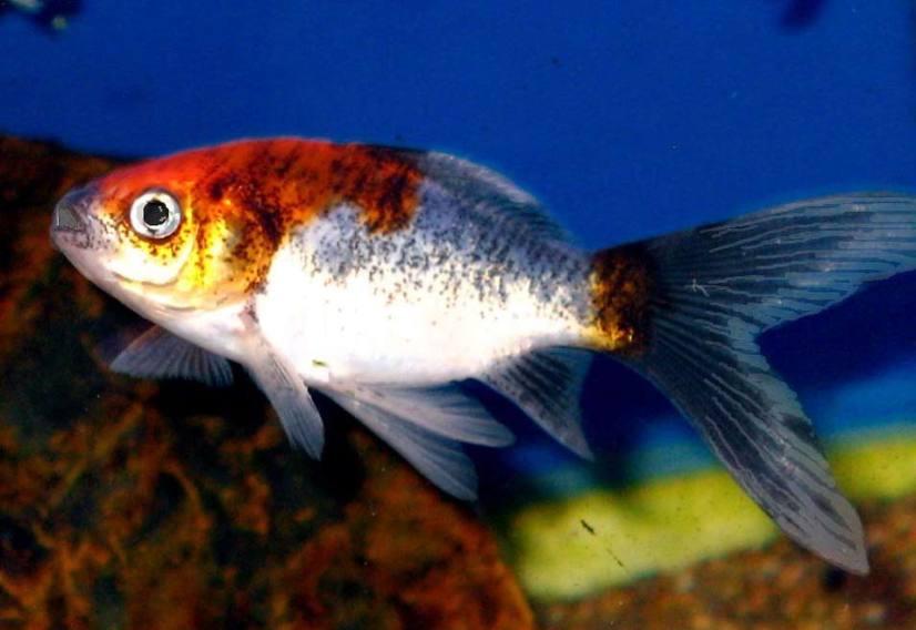 Comet Goldfish