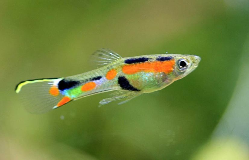 Endlers-Guppy-Fish